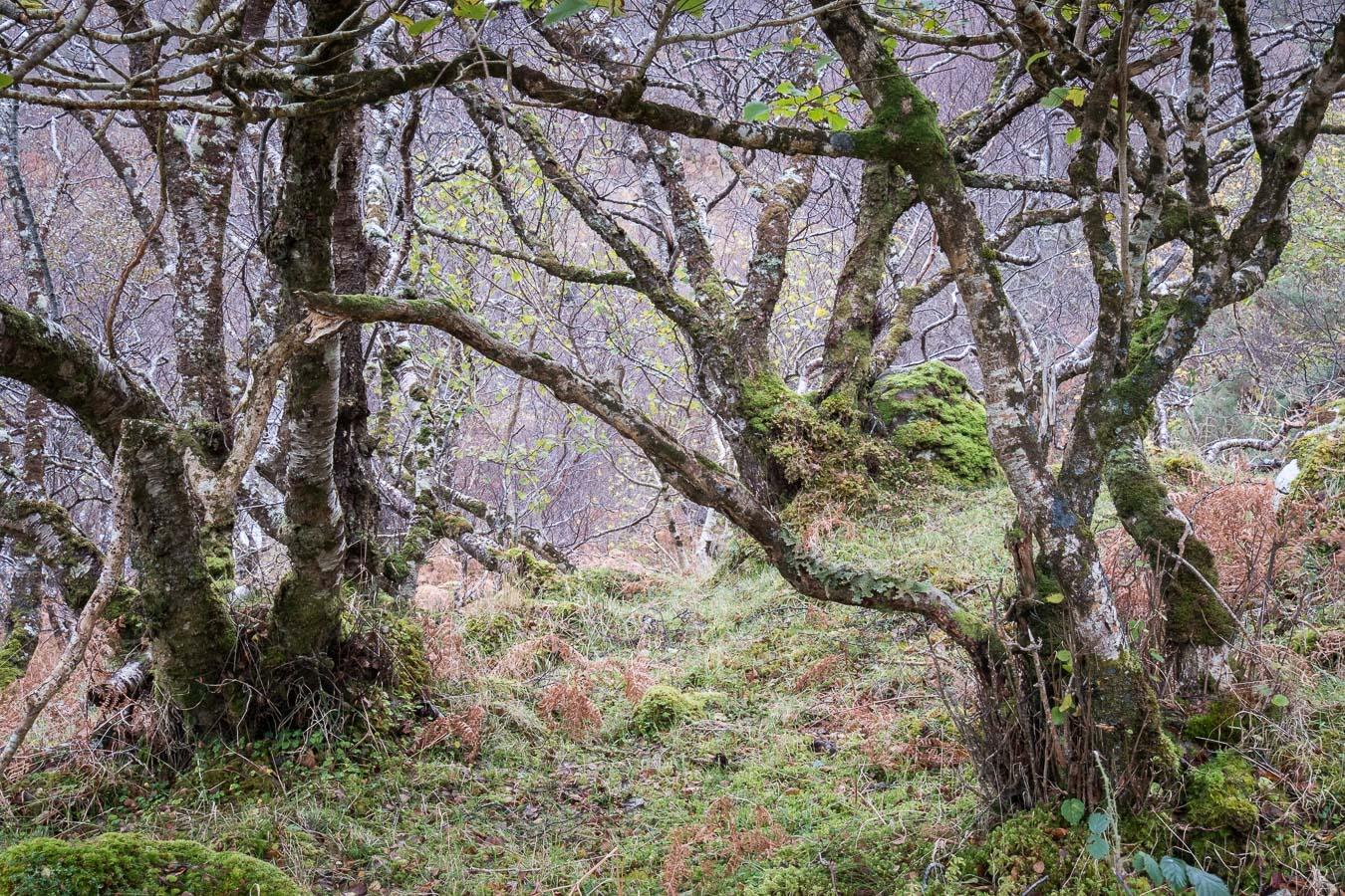 Old Birches